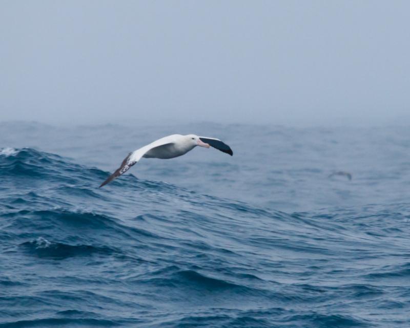 wandering albatross: large and wonderful soarers, wing spans of 11-12 feet
