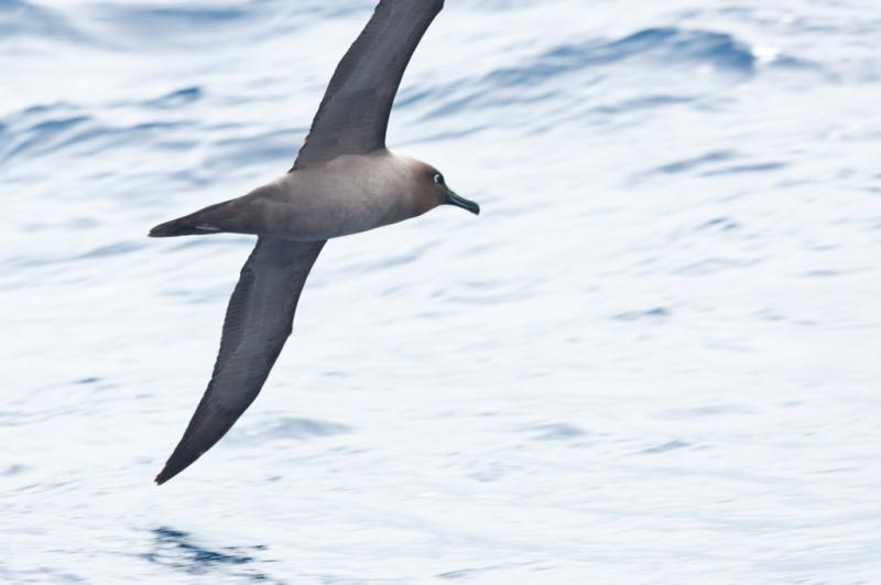 light mantled sooty albatross, beautiful and an excellent flyer