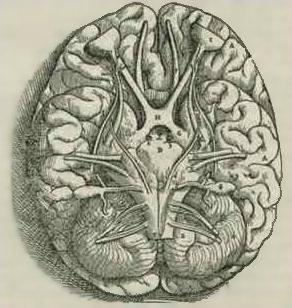 A sketch of the human brain by sixteenth century anatomist Andreas Vesalius.