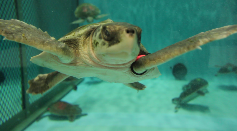 Turtles Swim in a tank at the New England Aquarium Quincy Facility.