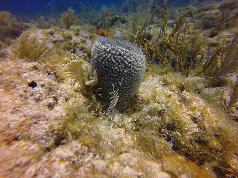 Most Caribbean coral reefs are now covered with more algae and sponges then coral.