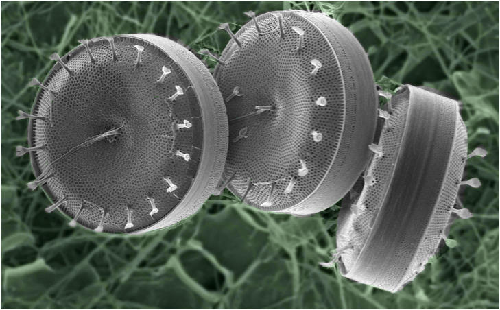 Chain-forming diatoms from the genus Thalassiosira often initiate the early spring phytoplankton bloom.