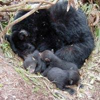 Hibernating black bear mother and cubs.