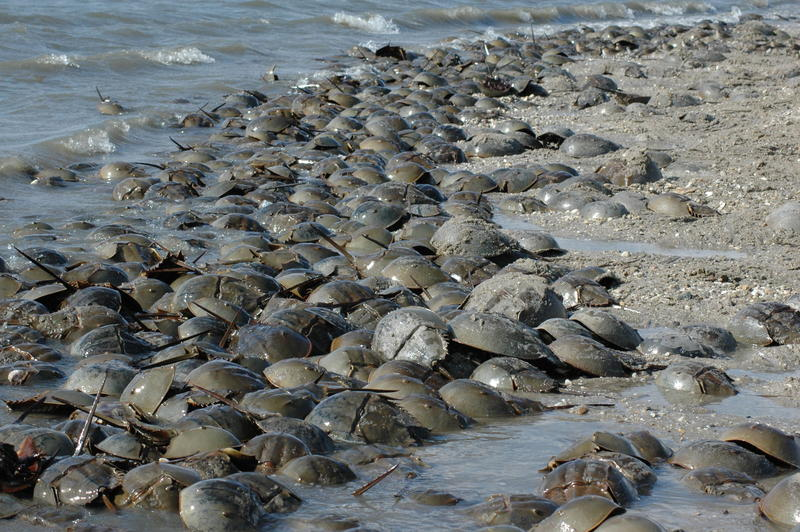 Beaches along Delaware Bay are hotspots for horseshoe crab spawning each spring.