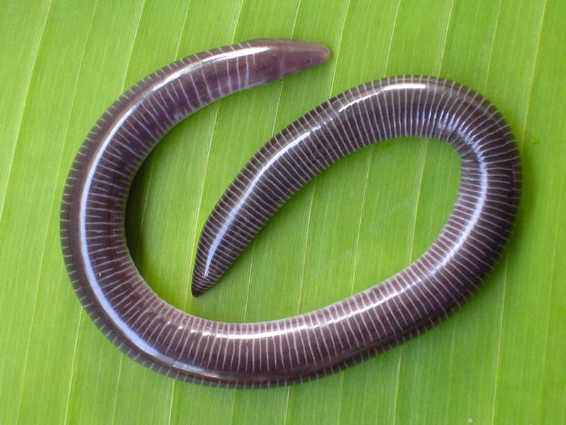 Caecilians are legless amphibians, which is weird enough. Some have protrusible eyes hidden under their skin, and one species has no lungs. To top it all off, caecilian mothers feed their young by producing a nutrient-rich skin that their babies - rather