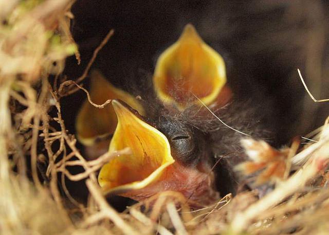 The full nest of a Carolina Wren.