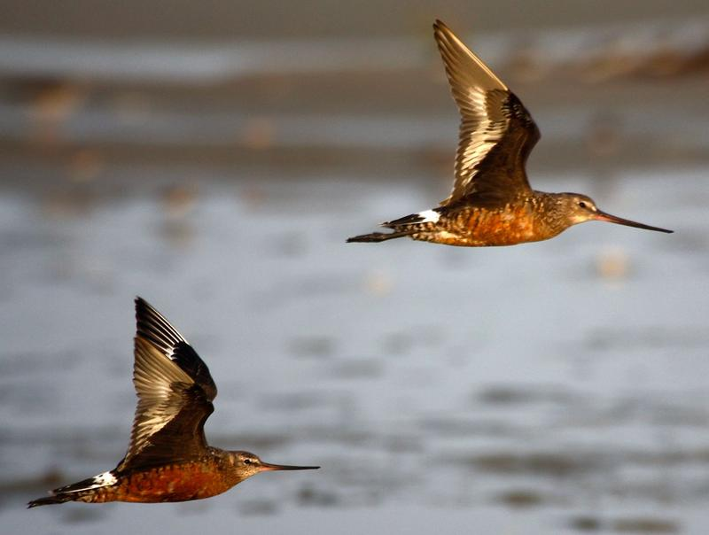Hudsonian godwits are among the unusual shorebirds appearing in our region as they migrate southward.