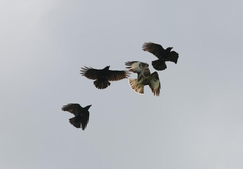 These crows harrasing a hawk provide a good illustration of how assertive corvids can be.