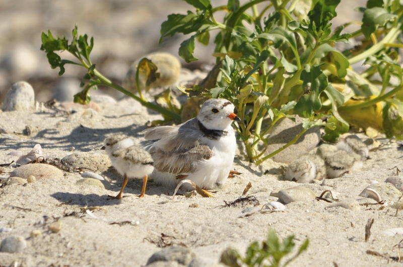 Piping plovers recovered from hunting, but now face threats from habitat destruction and sea level rise.