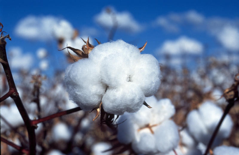 Cotton is a water-intensive crop, which may not make it the most sustainable choice for clothing.