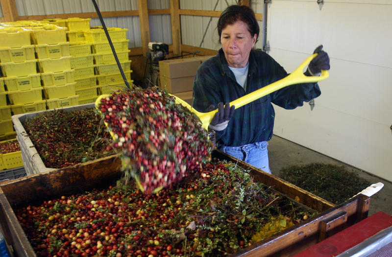 Sharon Petersen of PJ's Cranberries in East Sandwich loads cranberries into a cranberry seperator. Owner Pete Hanlon says he's concerned about climate change.