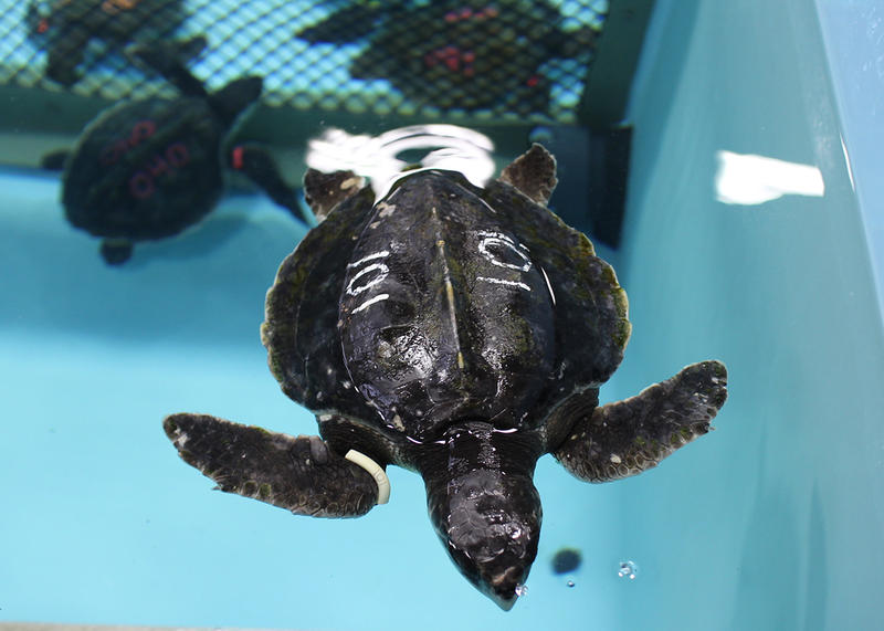 Cold Stunned Turtles Still Washing Up On Cape Cod Shores