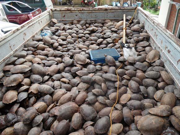 Some 3,800 illegally captured Palawan forest turtles were found in a warehouse in the Philippines last summer.