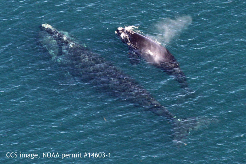 Right whale mother and calf spotted earlier this week in Cape Cod Bay, the first calf of the season.