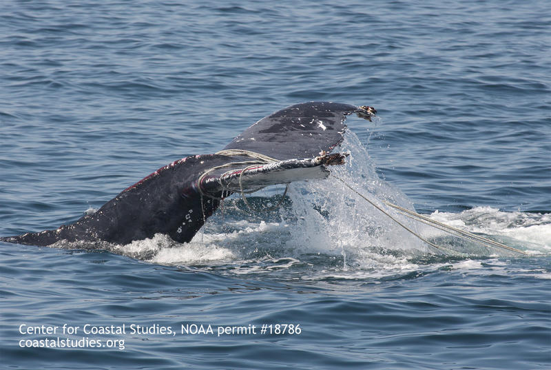 Fishing gear often catches or entangles the wrong animals, such as this humpback whale.