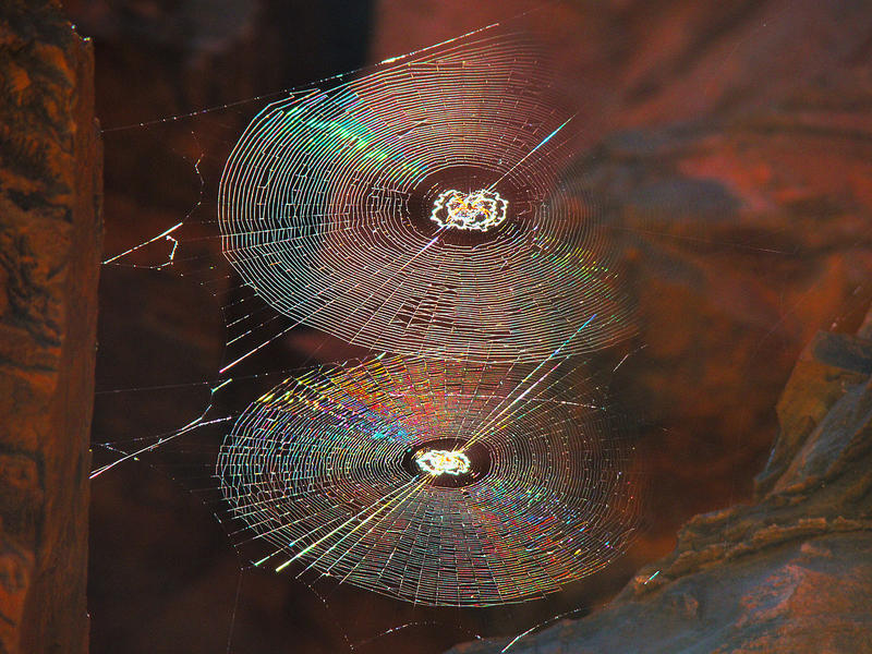 Spiral orb webs showing some colours in the sunlight in a gorge in Karijini National Park, Western Australia.