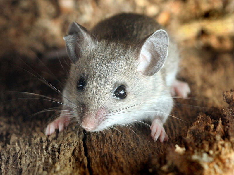 Research on deer mice is revealing the genetic underpinnings of complex behaviors.