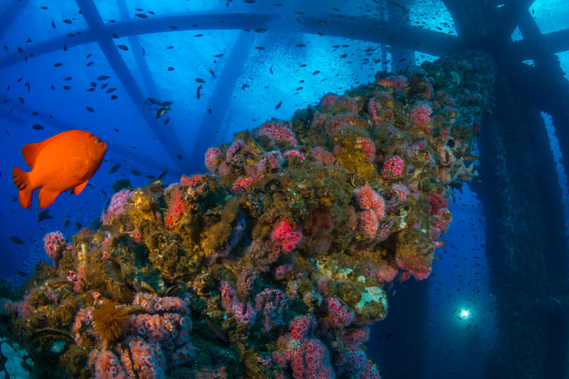 The California state fish, the Garibaldi, makes its home on an oil rig off California