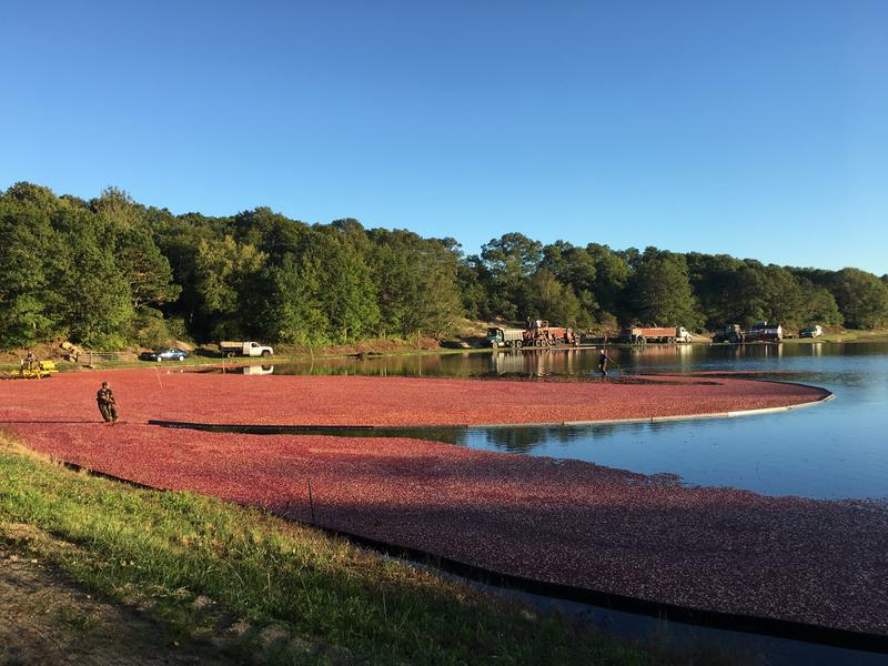 Workers harvest cranberries in East Falmouth, Mass.