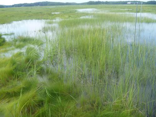 A salt marsh on Plum Island, Mass.