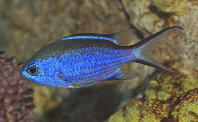 There are about 100 Blue Chromis fish in the great ocean tank at New England Aquarium