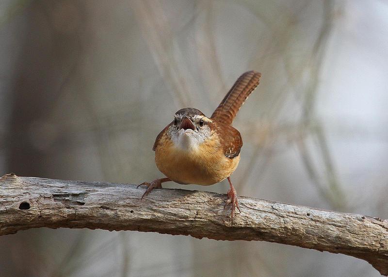 Singing wren.