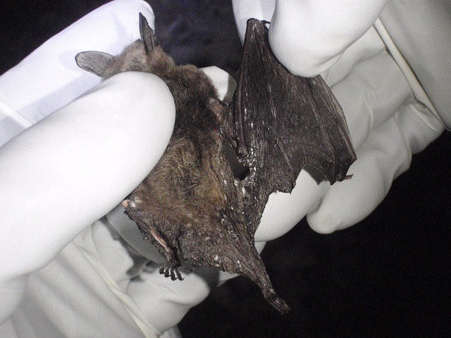 File photo of a Northern Long-eared bat found dead, with confirmed white-nose syndrome.