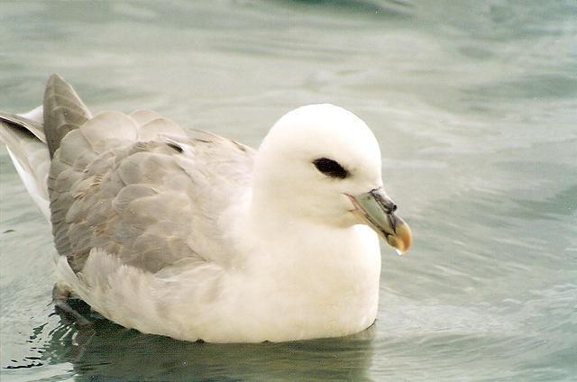 A fulmar, with its distinctive tube nose clearly visible.