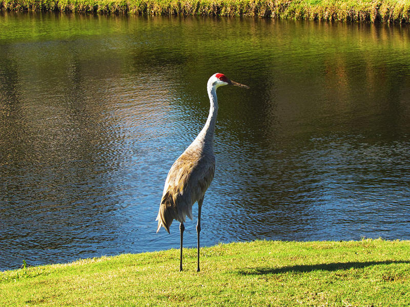 Sandhill Crane on a Florida golf course.