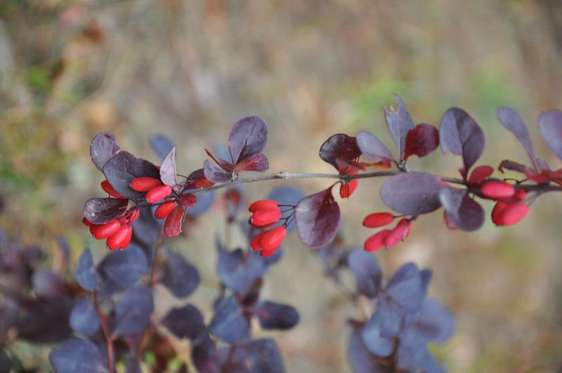 Japanese barberry is an invasive that will likely benefit from climate change.
