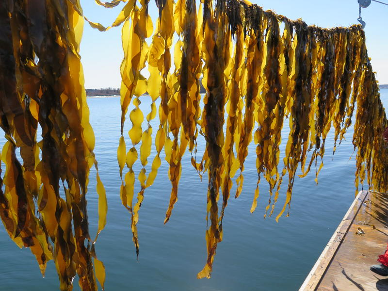 Juvenile sugar kelp on an Ocean Approved farm in the Gulf of Maine.