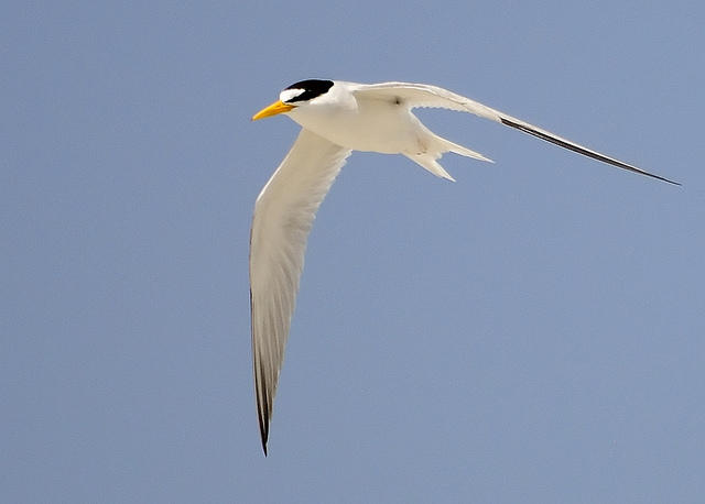 Least Tern, one of the Cape's distinctive signs of Spring's return.