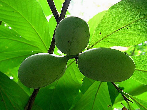 Pawpaw fruits on the tree.