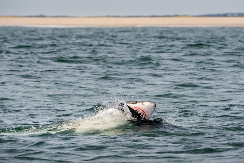 A great white shark attacks a seal decoy off Cape Cod.