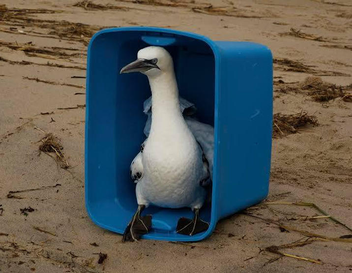 A rehabilitated gannet, ready for release