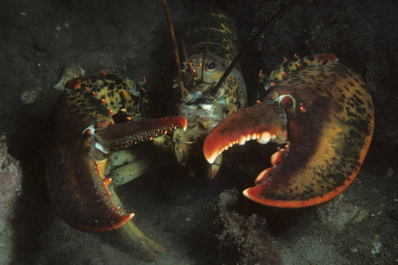 As water temperatures rise, southern New England is losing its lobsters.