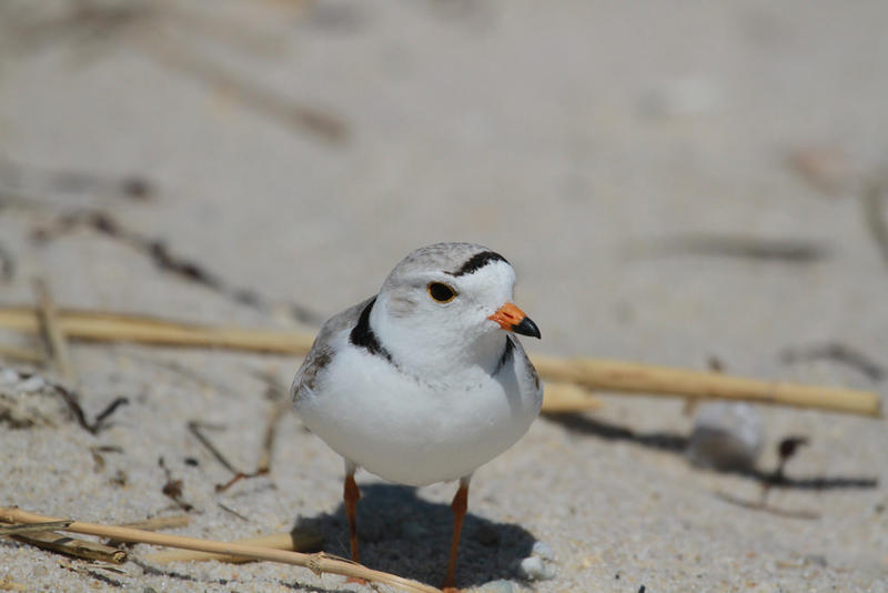 A male Piping Plover in North Truro