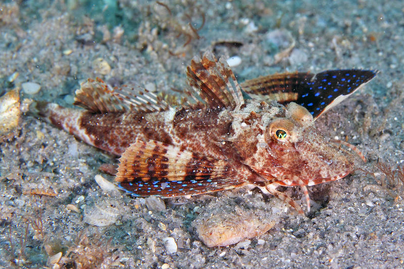 Sea robin trying to look like nothing you would want to eat.