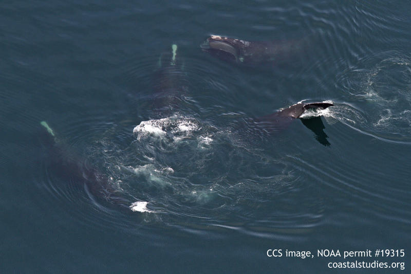 Four North Atlantic right whales feeding on zooplankton in Cape Cod Bay, April 12, 2017.