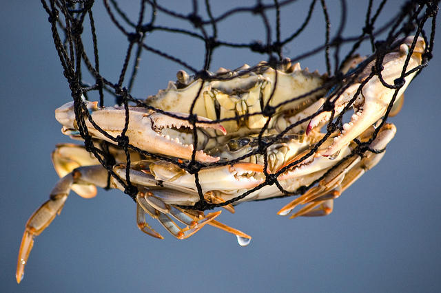 Blue crabs can be found in Buzzards Bay and along the south side of the Cape from Woods Hole to Chatham.