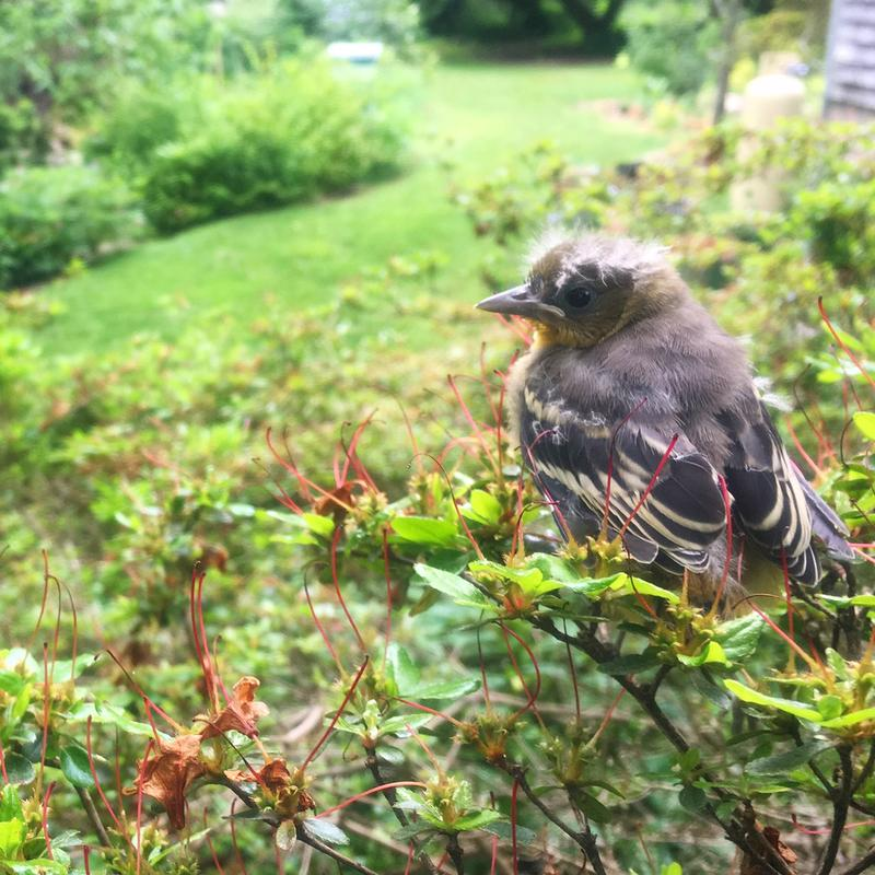 A young Baltimore Oriole