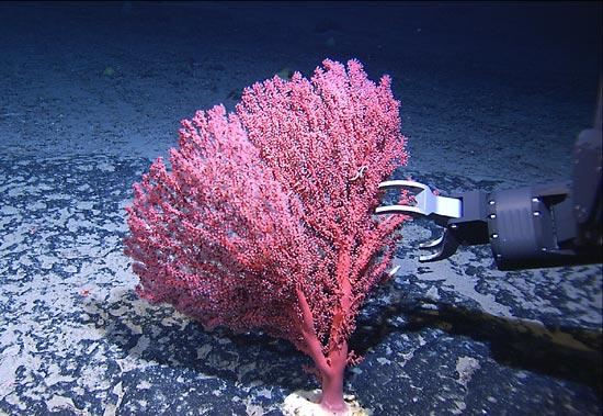 "This ""bubblegum coral"" is found in the New England Seamounts."