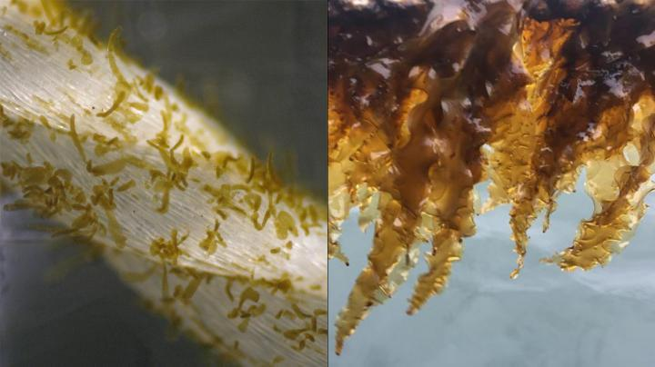 Growing Sugar Kelp: Saccharina Latissima