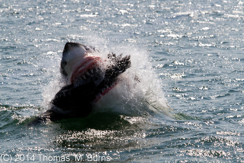 Great White shark attacking a fake seal lure.