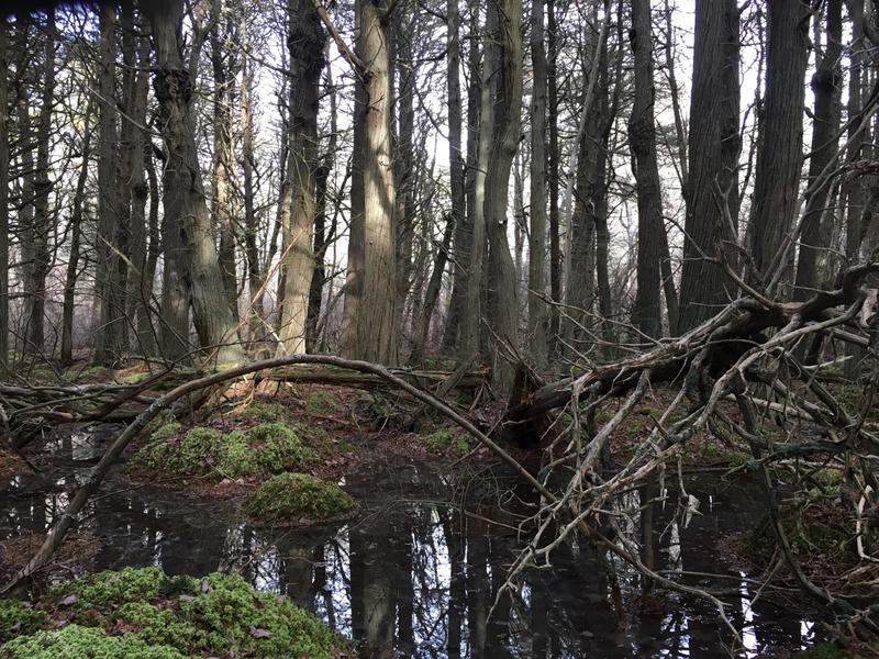 Atlantic White Cedar Swamp Trail in Wellfleet