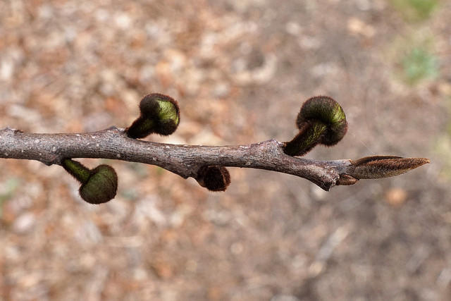 Buds on a pawpaw branch.