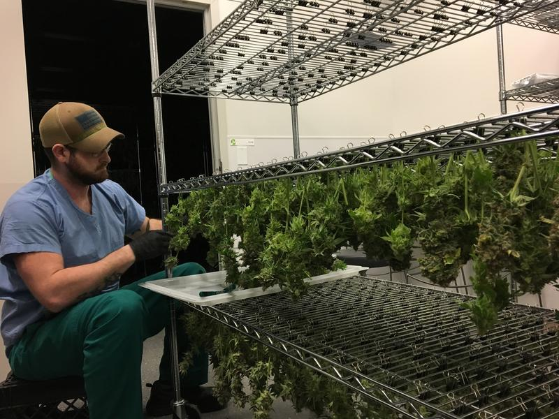A Triple M worker dries marijuana leaves.