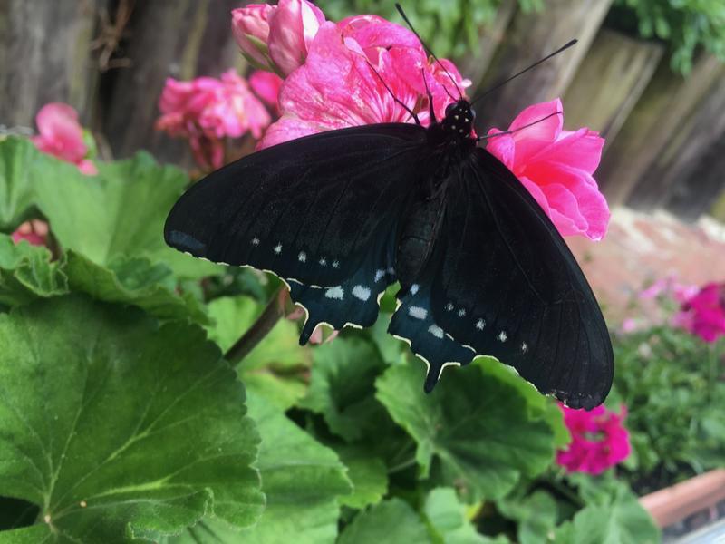 pipe vine swallowtail
