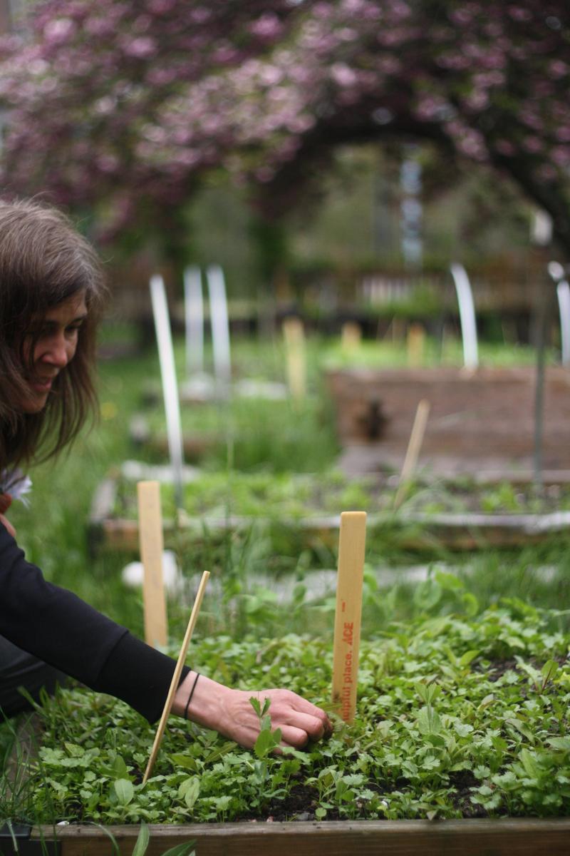 School Garden Coordinator Sue Lavallee tending one of the raised beds