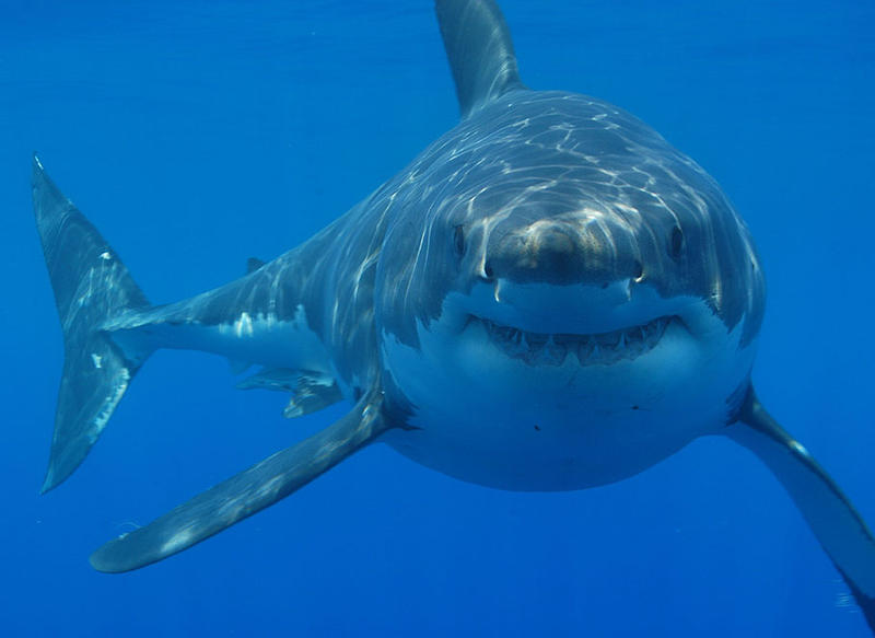 Greg Skomal shares his approach to staying safe around white sharks.